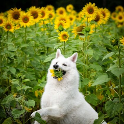 Dogs' Sunflower Photoshoot Turns into Hilarious Experience