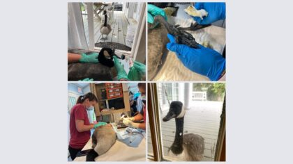 Goose's Mate Kept Watch Over his Hospital Surgery
